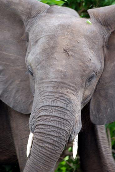 小象の顔.jpg