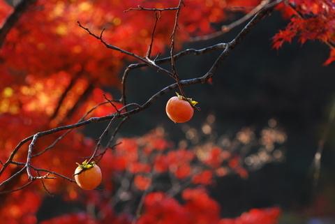 柿・紅葉・秋.jpg