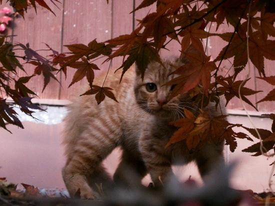 猫ともみじ.jpg